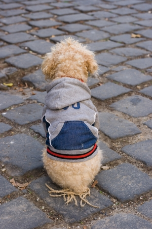 Well dressed poodle sitting on cobble stones.