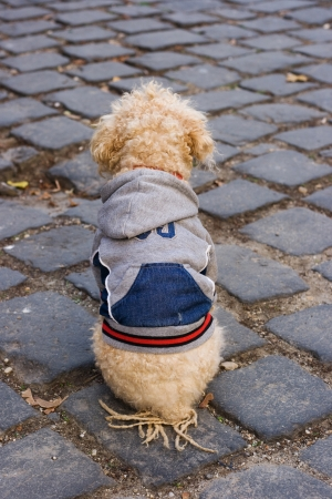 Well dressed poodle sitting on cobble stones