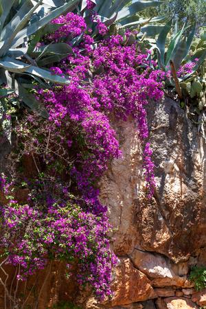 Stone wall with mediterranean plants like aloe vera, cactus and purple bougainvillea photo
