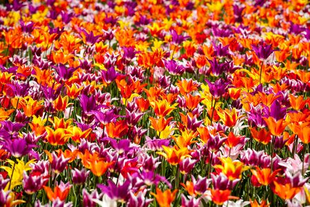 tons: Tons of colorful tulips, different kinds