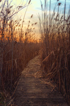 Woden path in reed at sunset photo