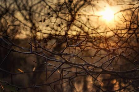 thorn bush: Thorn bush at sunset