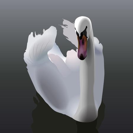 unsurpassed: Elegant white Swan swimming on water Illustration