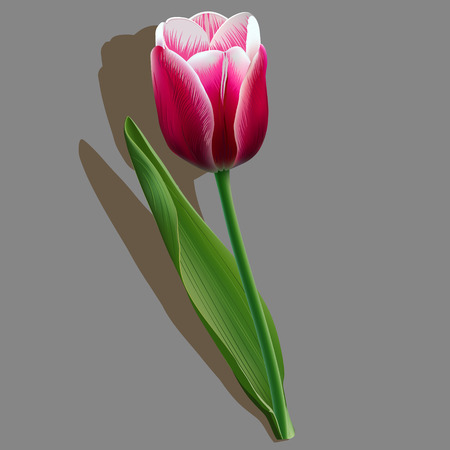 courtship: Pink tulip with a green leaf on grey background Illustration