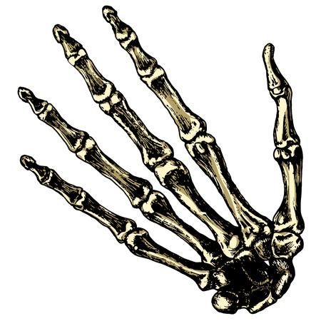 navicular: The skeleton human hand on a blank background