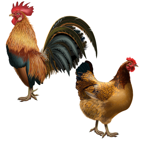 Realistic rooster and hen red suit on an empty background