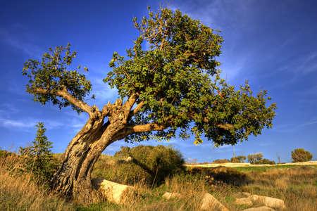 leaned: Carob tree (Ceratonia siliqua), old, leaned, single Stock Photo