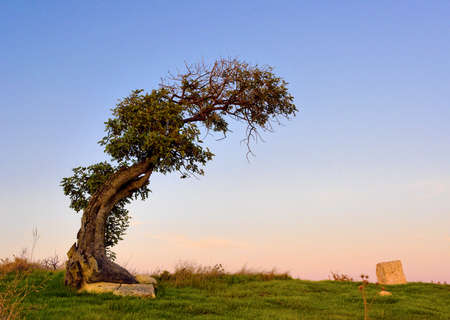 leaned: Old leaned single olive tree (lat. Olea) Stock Photo