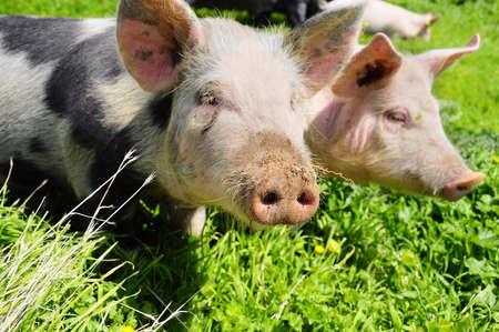 cerdos: Los lechones de la familia joven en un prado verde