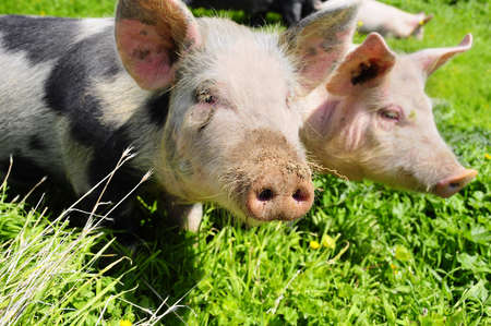 pigling: Young piglets family on a green meadow Stock Photo