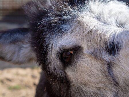 Donkey face close up, eye ear wool. animal at the zoo
