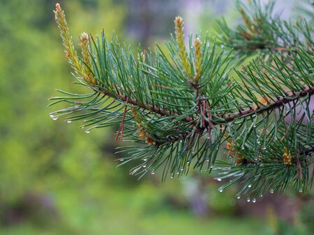 Pine tree after heavy rain. Close up of the branch and water drops.