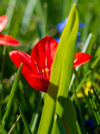 Beautiful Red Tulips, Darwin Hybrid Red Tulips in a flowerbed.