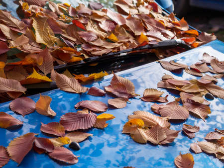 Fallen dry brown oak leaves lying on car windshield and hood in sunny weather, side view, soft focus. Autumn foliage, transport, season concept.