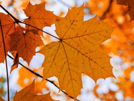 autumn orange maple leaf on the tree. fall.