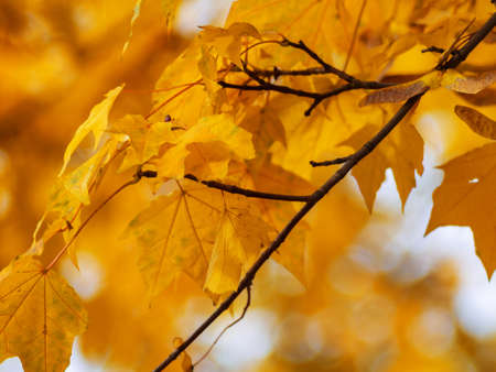 red yellow fall maple leafs illuminated by sun natural background Banque d'images