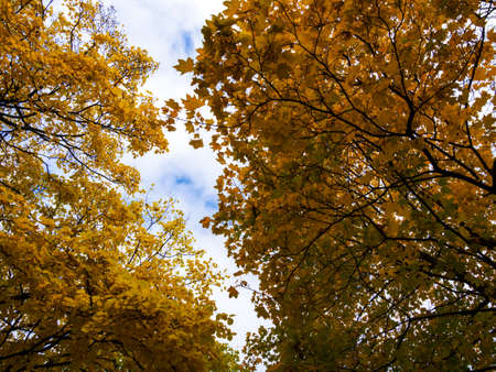 The warm autumn sun shining through the golden canopy of tall beech trees