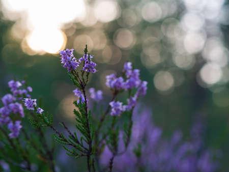 Detail of a flowering heather plant in dutch landscape Фото со стока