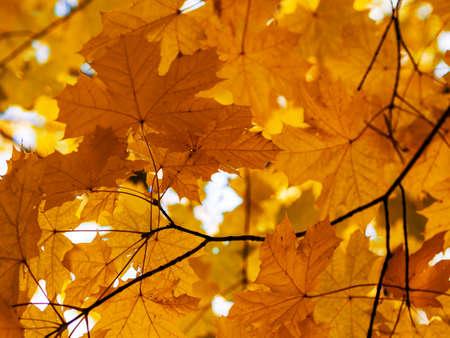 Orange autumn maple leaves Фото со стока