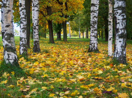 White fall birch trees with autumn leaves in background