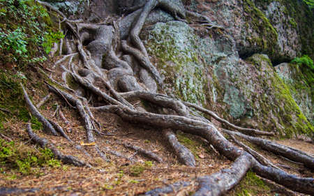Outdoor natural image of gigantic roots of an old tree, covered with moss and underwood