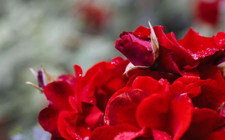Beautiful blooming red rose on a bush in the garden