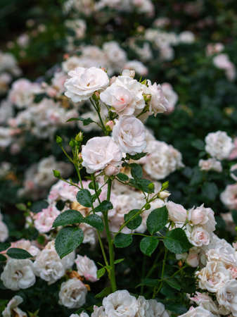 Beautiful wilted white roses in late summer