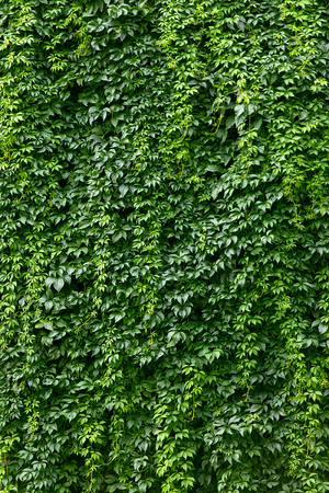ivy wall: house completely covered in green ivy wall