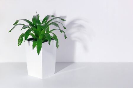 Indoor green plant in a white pot. Side view on a white shelf against a white wall Reklamní fotografie