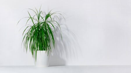 Green houseplant palm tree in a pot against a white wall.