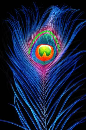Bright peacock feather in neon light on a black background.