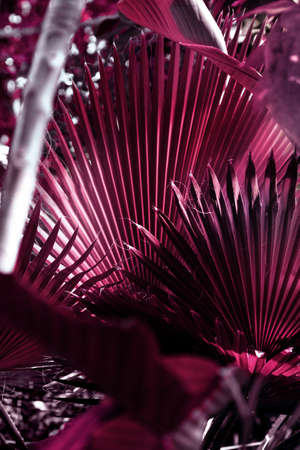 Large palm leaf in magenta color of the Sabal minor family