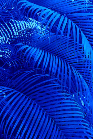 Large leaves of the palm trees coconut blue palm leaf, Natural tropical background