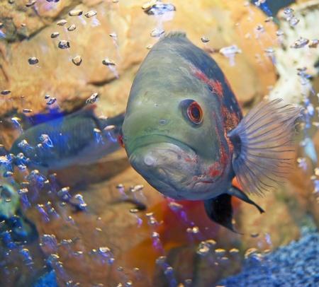 Fish in an aquarium with bubbles. Close-up, square orientation 写真素材