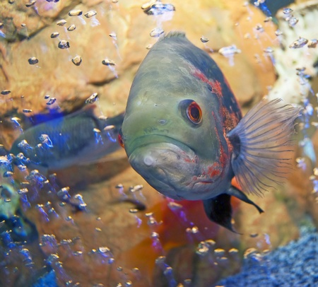 Fish in an aquarium with bubbles. Close-up, square orientation Stock Photo