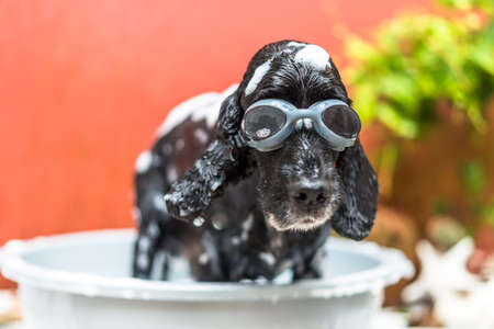 BLACK DOG TAKING BUBBLE BATH Stock Photo