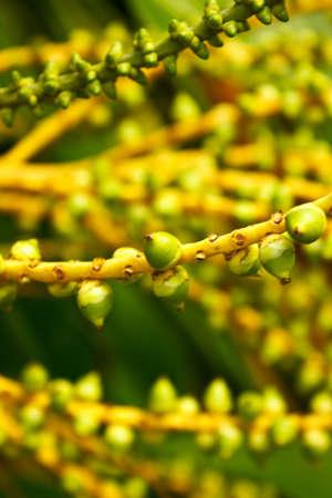 Betel palm Stock Photo - 12327494