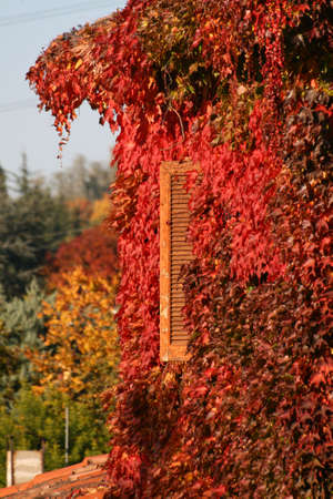 old window in autum covered by red leaves photo
