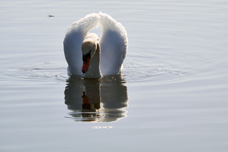 A swan in the water
