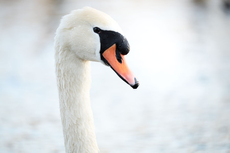 Close up of a swan in the water