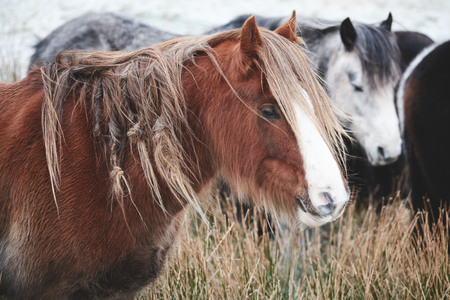 Wild horses in the brecon beacons national park