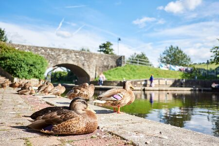 A duck on Brecon canal basin in Powys Wales UK 版權商用圖片