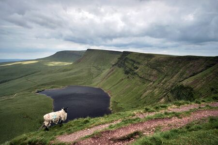 A sheep near Llyn y fan fach, the welsh lake in Brecon Beacons National Park Zdjęcie Seryjne