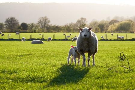 ウェールズの羊、サンシャイン、ブレコン ビーコン国立公園内