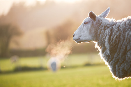 Welsh sheep, in Brecon Beacons National Park