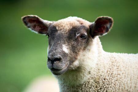 babies: Welsh lamb, black head, in Brecon Beacons National Park