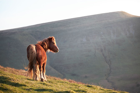 Wild horse on mountains, sunshine, wales, brecon beacons national park Zdjęcie Seryjne