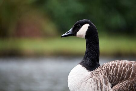 Canada goose in brec beacons national park