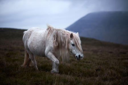 Wild white horse, on a welsh mountain near Llangorse lake