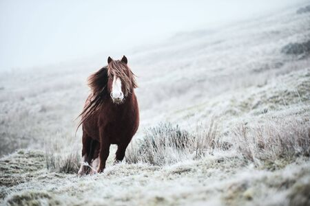 Wild horse in a frosty day on the top of a mountain